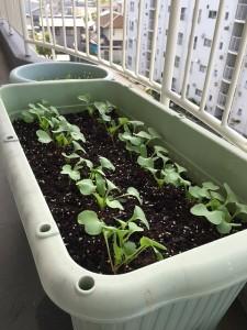 二十日大根の種を植えて2週間後のプランターの写真