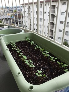 二十日大根を植えて9日後のプランターの写真