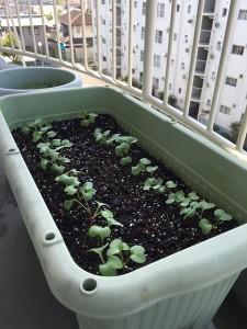 二十日大根を植えて10日後のプランターの写真