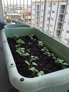 二十日大根を植えて11日後のプランターの写真