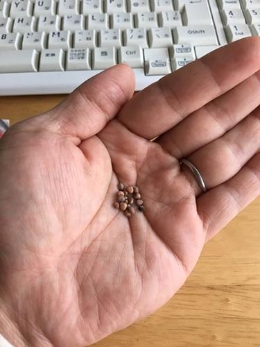 二十日大根の種の写真