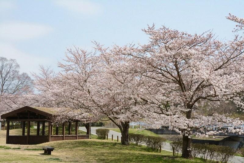 山田の里公園の桜