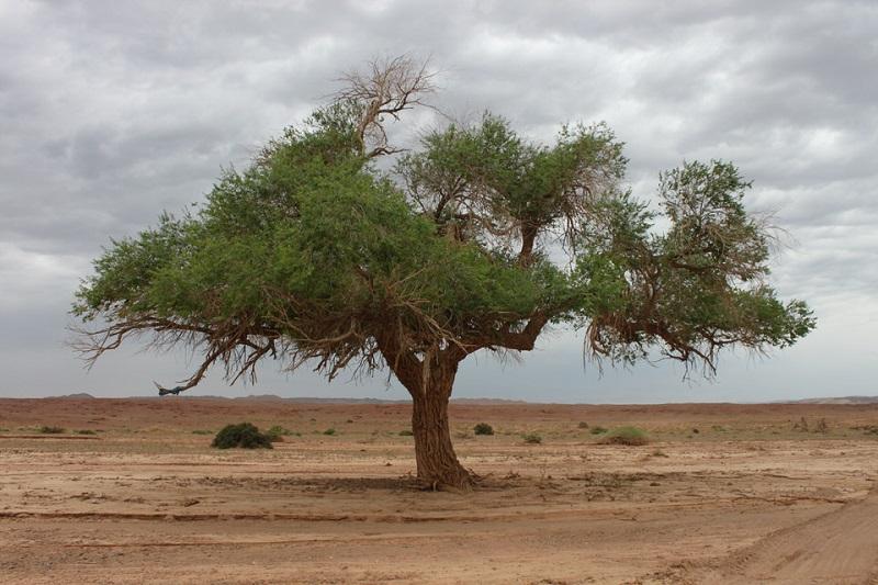 モンゴル 砂漠の中の木