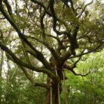 金沢城にいきる樹齢400年のスダジイ