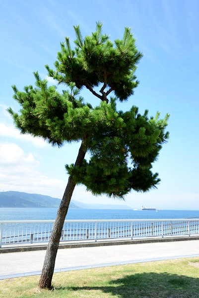明石 ベランダ護岸 松の木
