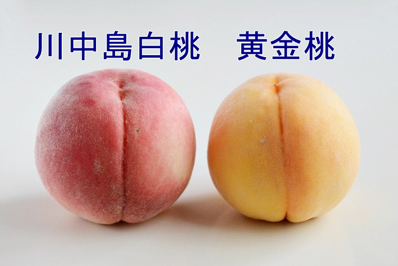 斎藤果樹園の川中島白桃と黄金桃