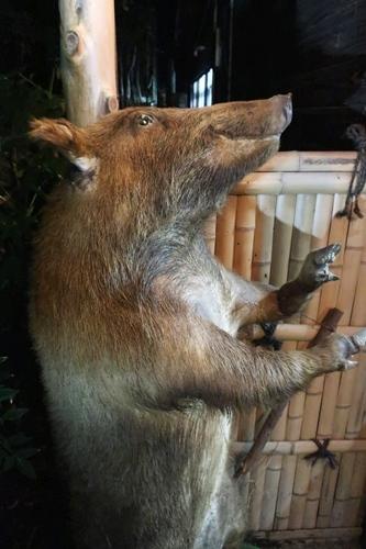 「いわや」の店先にある猪の剥製の写真