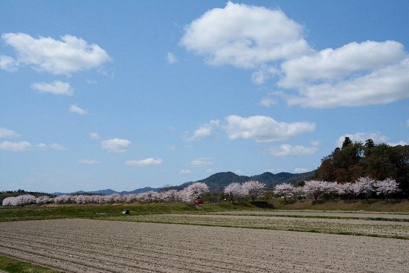 弁天橋北信号の近くの市道から見える桜