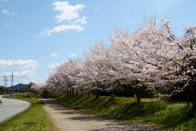 弁天橋北信号の近くの川沿いに咲いている桜