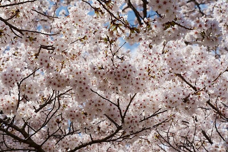 篠山市の桜