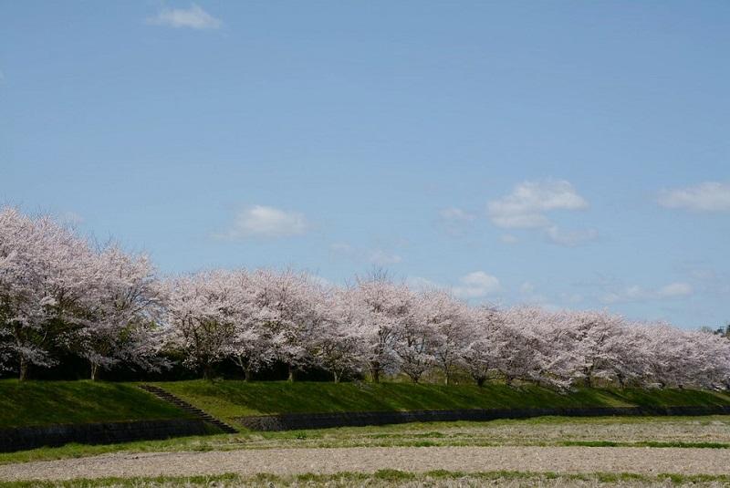 篠山市野間のお墓付近に咲いている桜