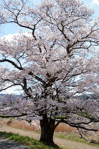 篠山市の般若寺交差点の付近に咲いている桜