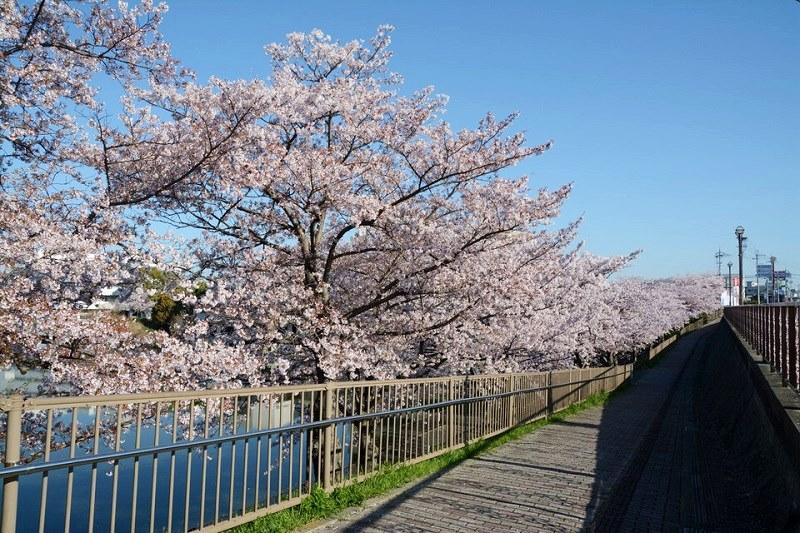 小野市の権現池沿いに咲いている桜