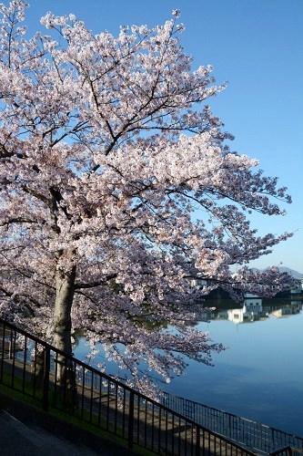 小野市権現池の桜