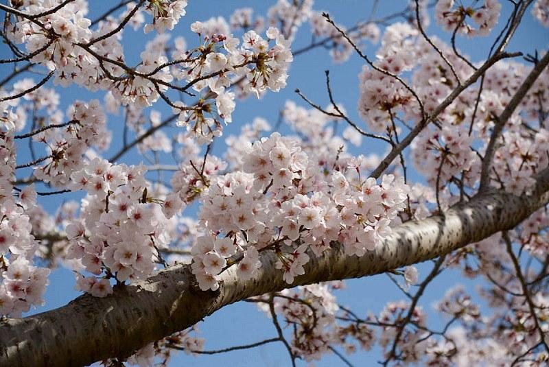 おの桜づつみ回廊の桜