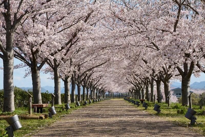 おの桜づつみ回廊の桜のトンネル