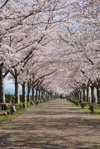おの桜づつみ回廊の満開の桜