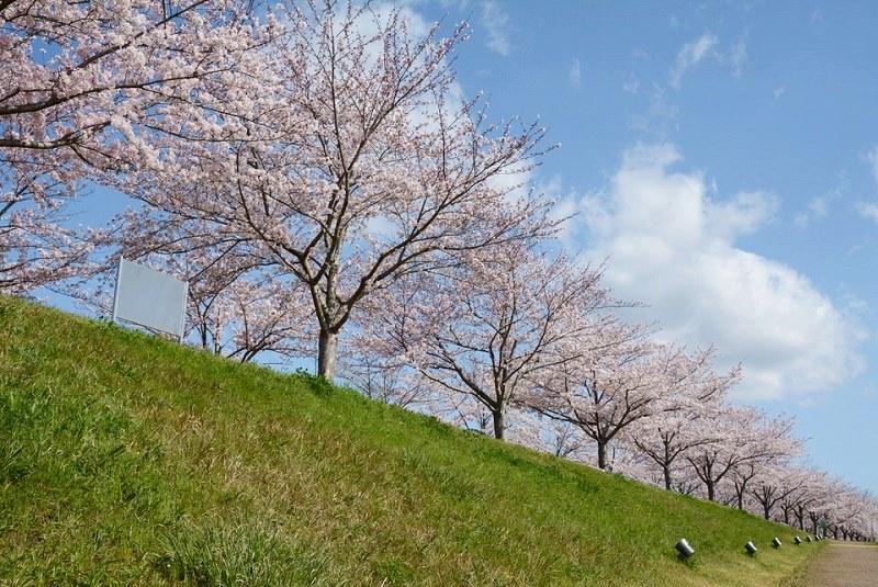 おの桜づつみ回廊に咲いている桜