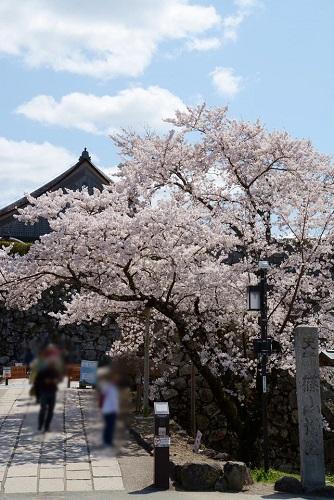 篠山城跡入口に咲いている桜