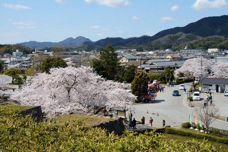 篠山城内から見える桜