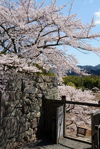 篠山城跡の裏門に咲いている桜