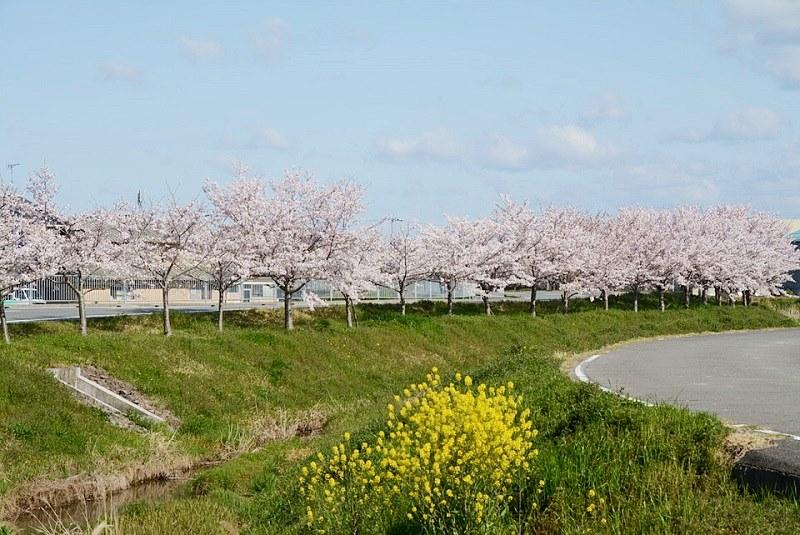 小野市下来住の桜