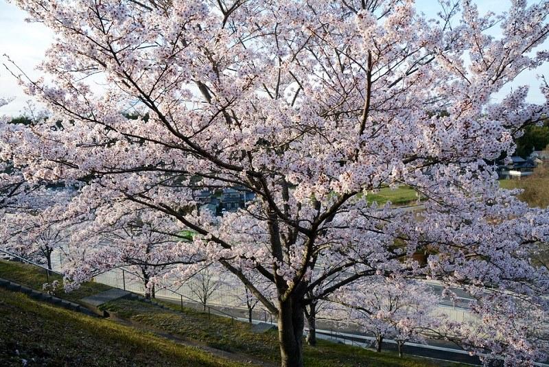 匠台公園内の桜