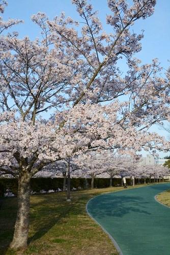 匠台公園内のウォーキングコースに咲いている桜