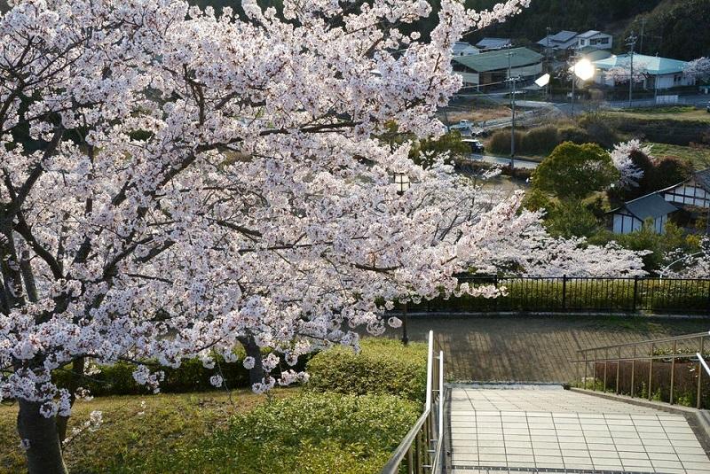 匠台公園内の階段脇に咲いている桜