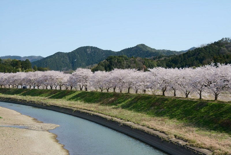 篠山川に咲いている桜
