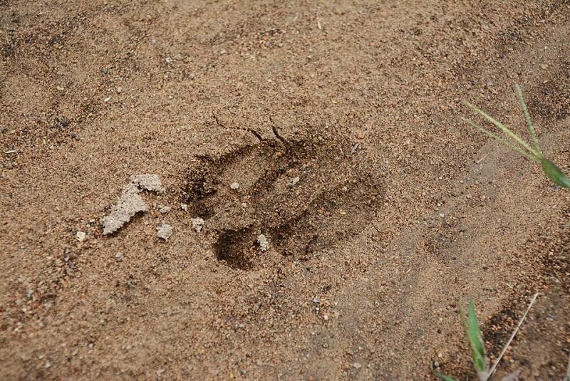 砥峰高原で見た動物の足跡
