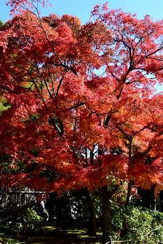 好古園・御屋敷の庭の紅葉(ズーム)