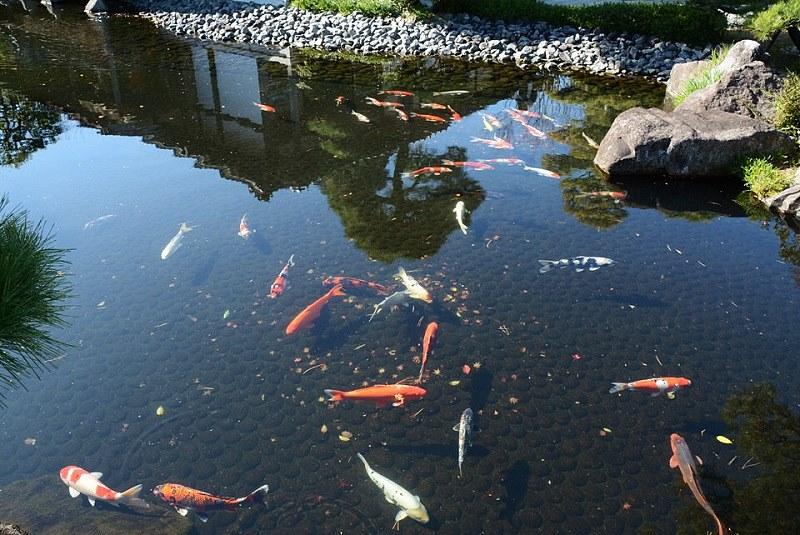 好古園の池で泳ぐ鯉