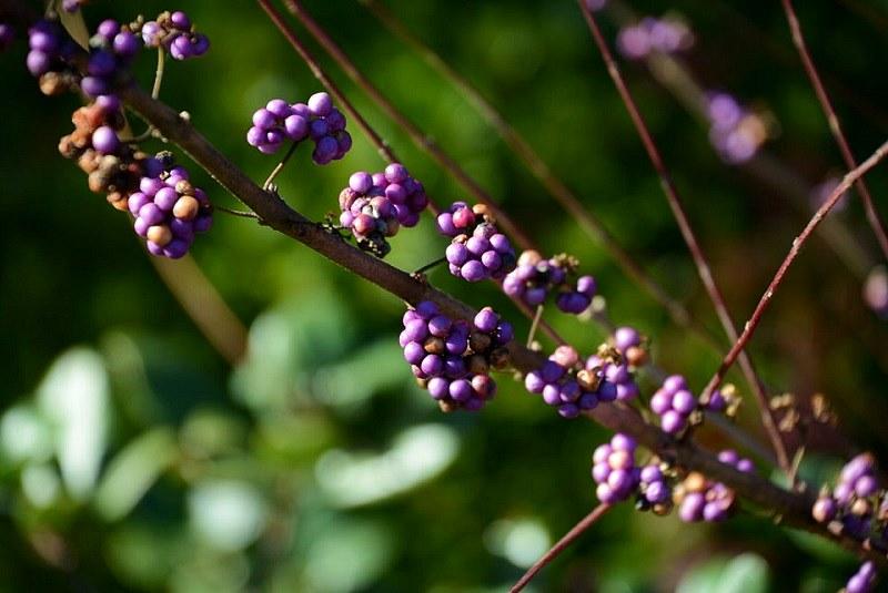 好古園のムラサキシキブ(紫式部)